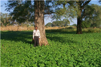 Faidherbia tree with bean crop